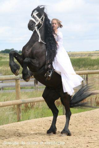 Fries paard steigerend